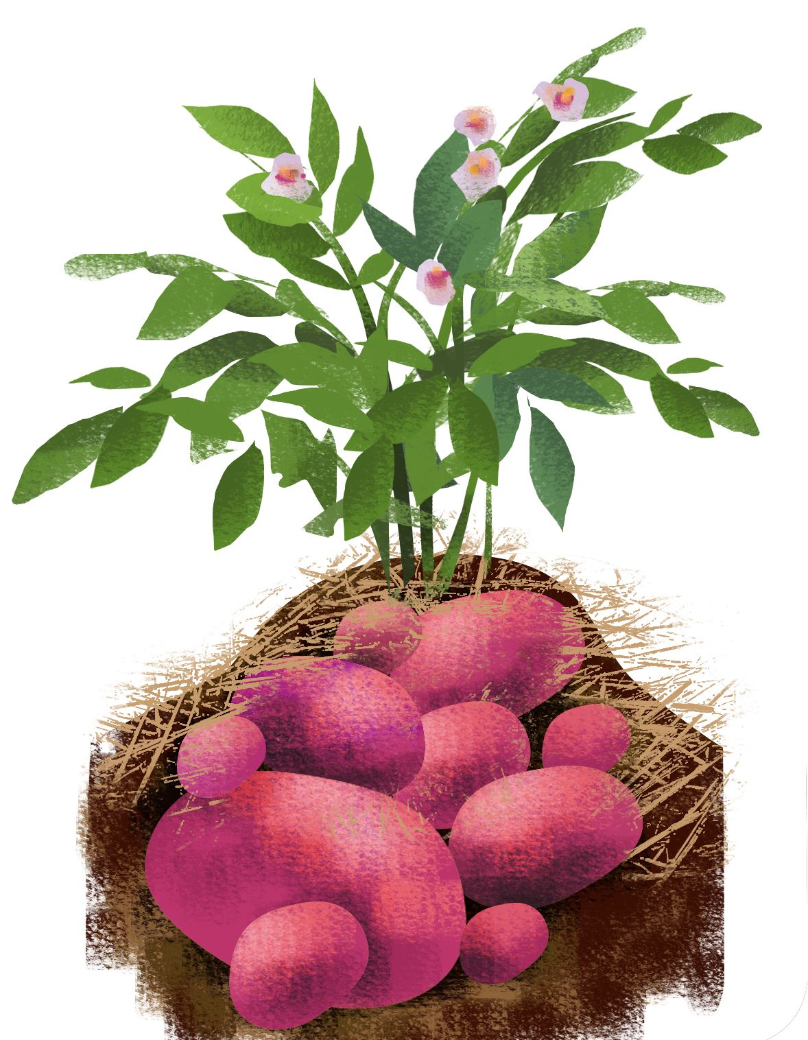 Miriam_Potatoes062614_dm Potato plant.