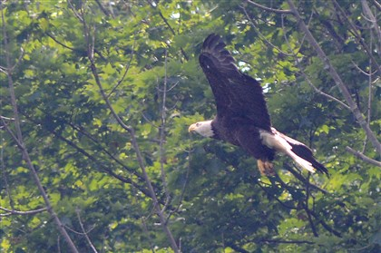 Hays Pittsburgh bald eagles The female bald eagle gliding above Hays in June 2014.