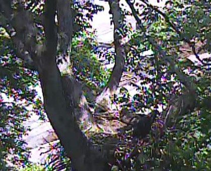 Eagles_2.jpg The scene at the nest Sunday afternoon as viewed from a video feed.