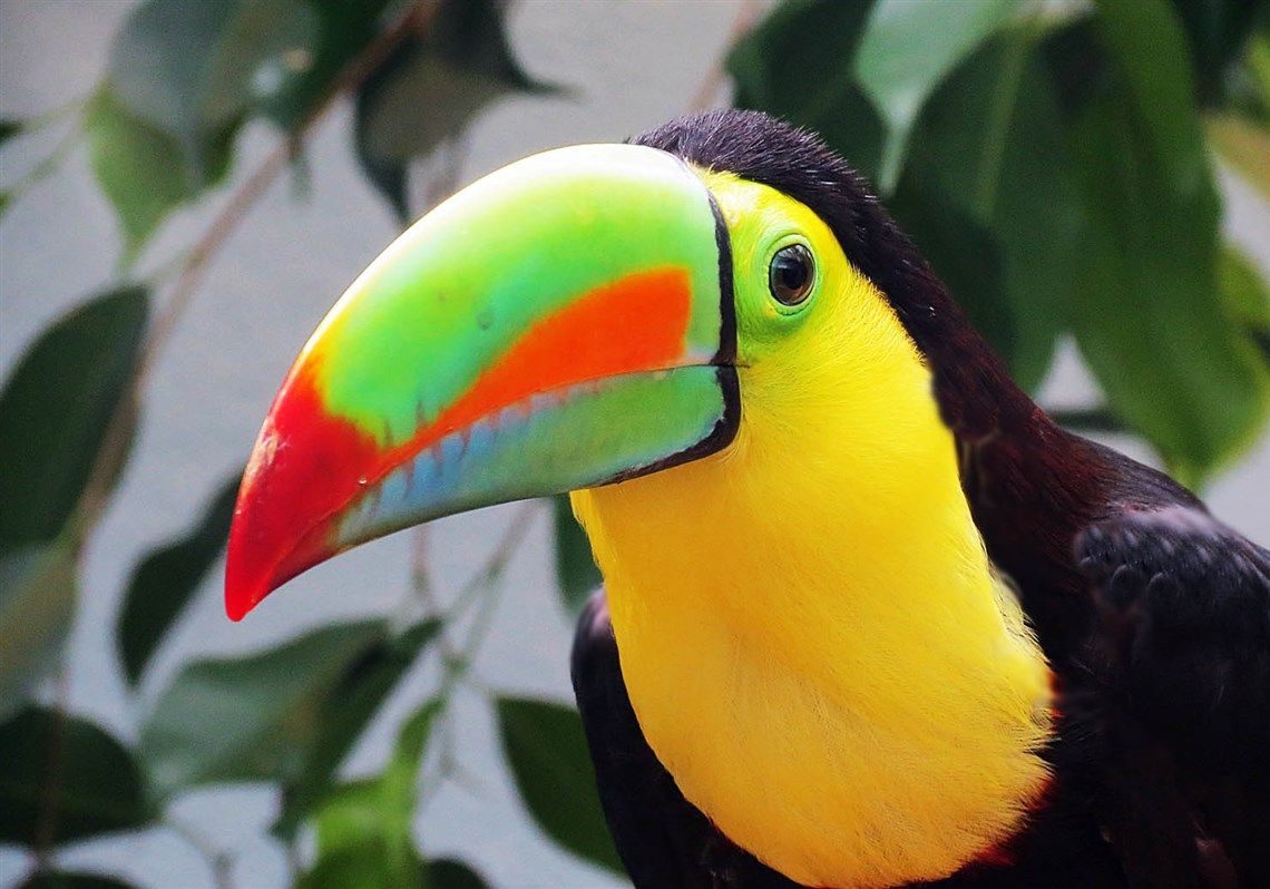 keel billed toucan at the national aviary