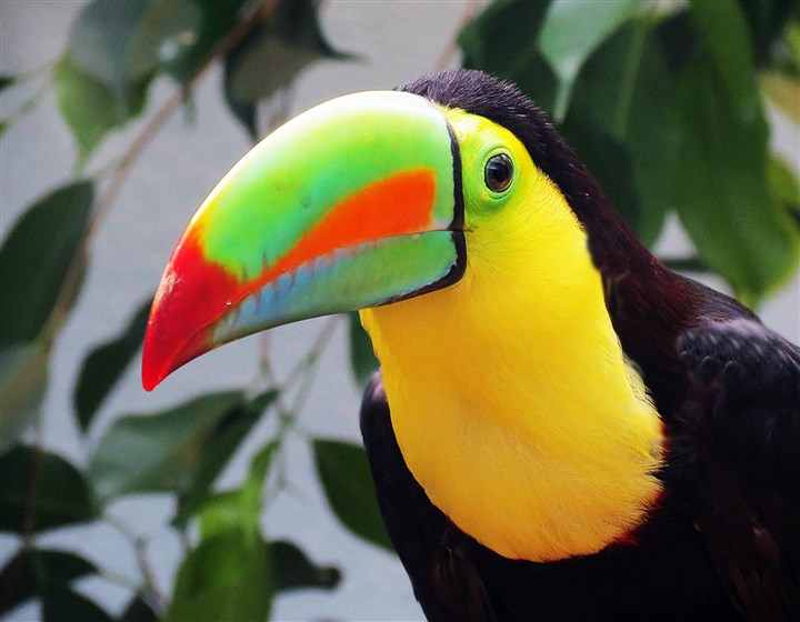 20140625HOToucan2-1 Keel-billed toucan at the National Aviary.
