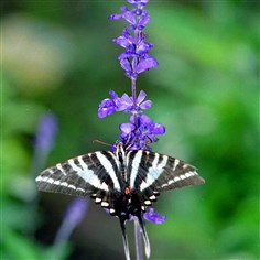 A zebra swallowtail rests on a salvia plant A zebra swallowtail rests on a salvia plant, whcihc can grow to 6 feet tall. This plant is ideal for the back of the sunny border and is deer-resistant.