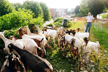 20140708dsGoatsLoc04-3 Goats graze on overgrowth Tuesday above Brereton Street in Polish Hill. At right is goat tender and consultant Brian Knox. Thirty goats were brought to the site, about one-tenth of an acre below West Penn Park, to cut back invasive brush and vines.