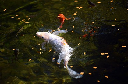 20140709MWHgardenMag03-2 Goldfish and koi swim in the Rhodes' pond.