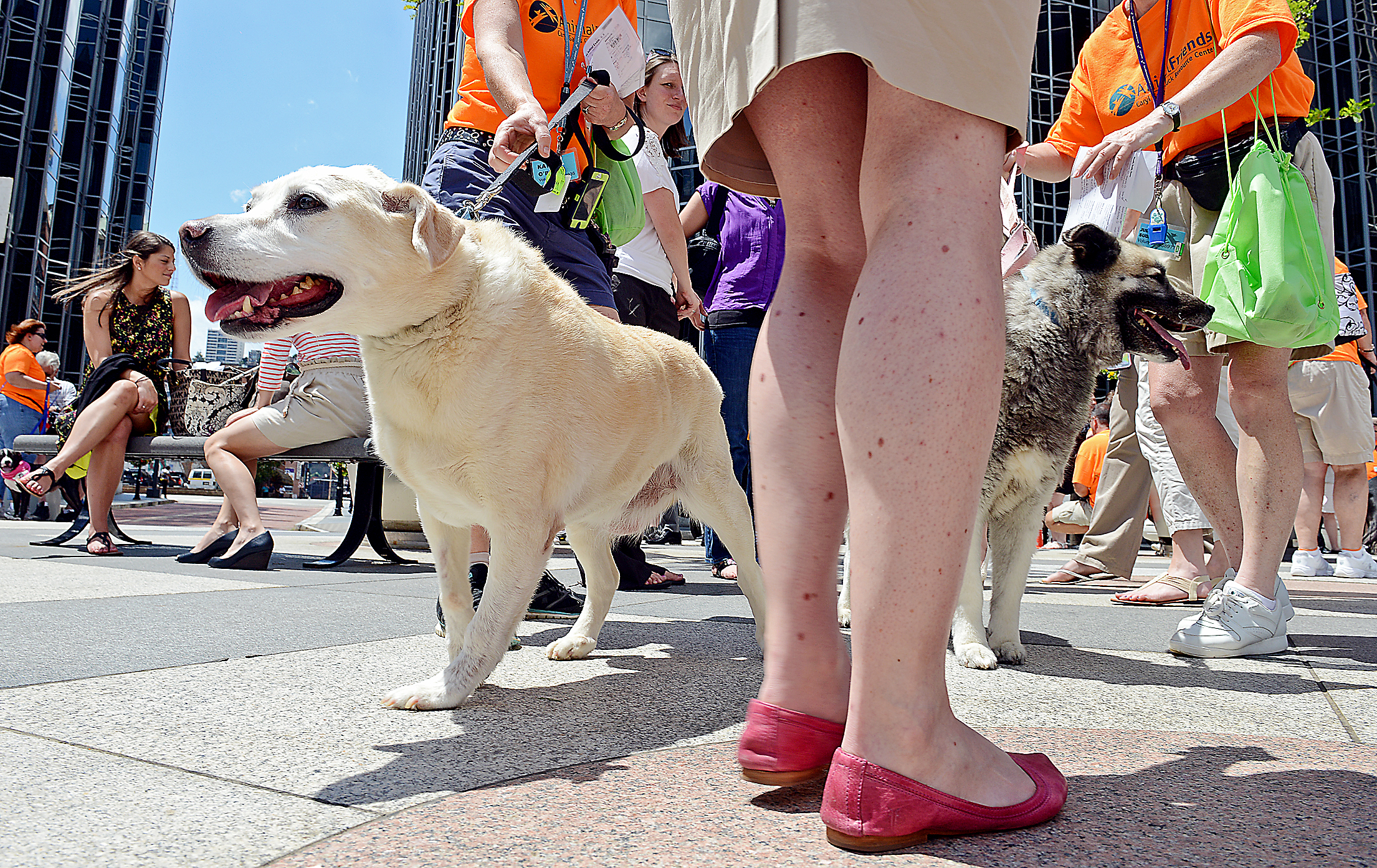 "Ruby Dee, a yellow labrador, and Tessa, a Norwegian Elkhound Ruby Dee, left, a yellow labrador, and Tessa, a Norwegian Elkhound, revel in the attention from the lunchtime crowd at PPG Place Wednesday as part of ""Mutt Mob."""