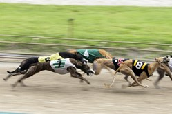 Greyhounds race at the Flagler Dog Track in Miami in 2014. One type of canine influenza was first identified in greyhounds 13 years ago.