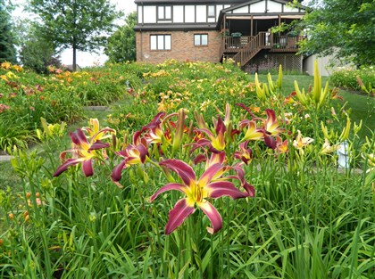 20140710NightStalkermag 'Night Stalker,' an unusual form of daylily, grows in Dan and Bernadette Taylor's yard in Indiana Township.