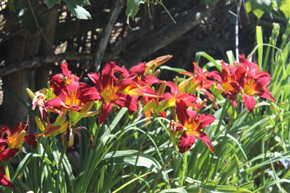 20140710lilyprimalmag-1 'Primal Scream' daylilies provide vibrant orange colors.