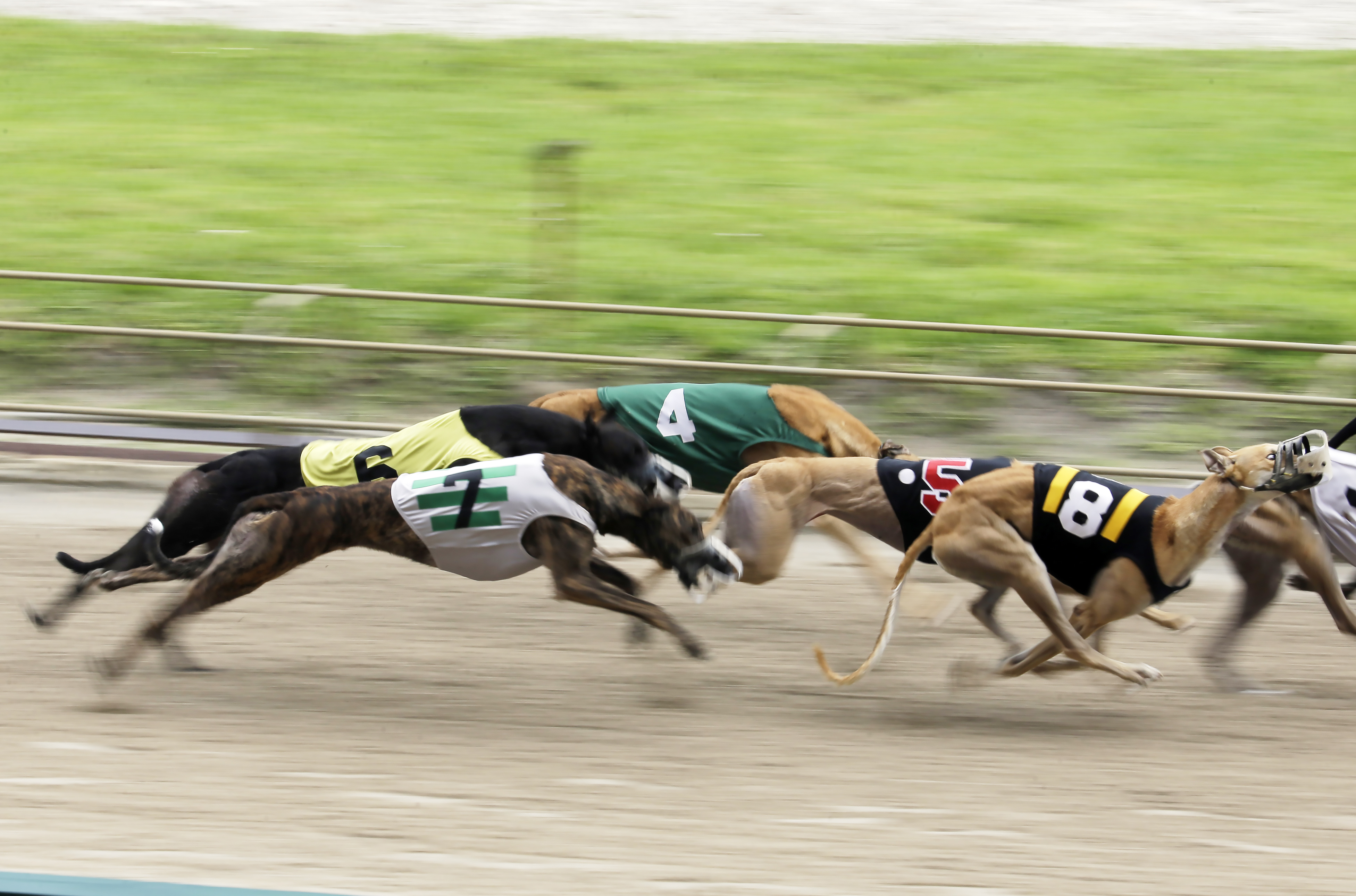 Dog Racings Decline Greyhounds race at the Flagler Dog Track in Miami in 2014. One type of canine influenza was first identified in greyhounds 13 years ago.
