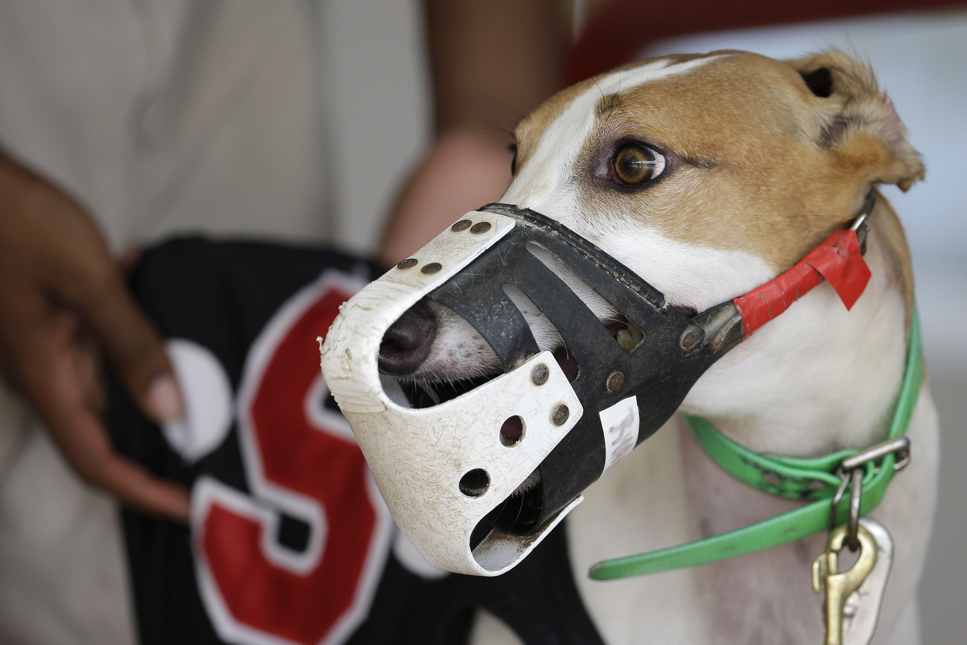 Dog Racings Decline A greyhound gets his bib put on before racing at the Flagler Dog Track in Miami last month. Greyhound racing used to be a popular sport in the United States, but in recent years it has fallen out of favor with gamblers and aficionados.