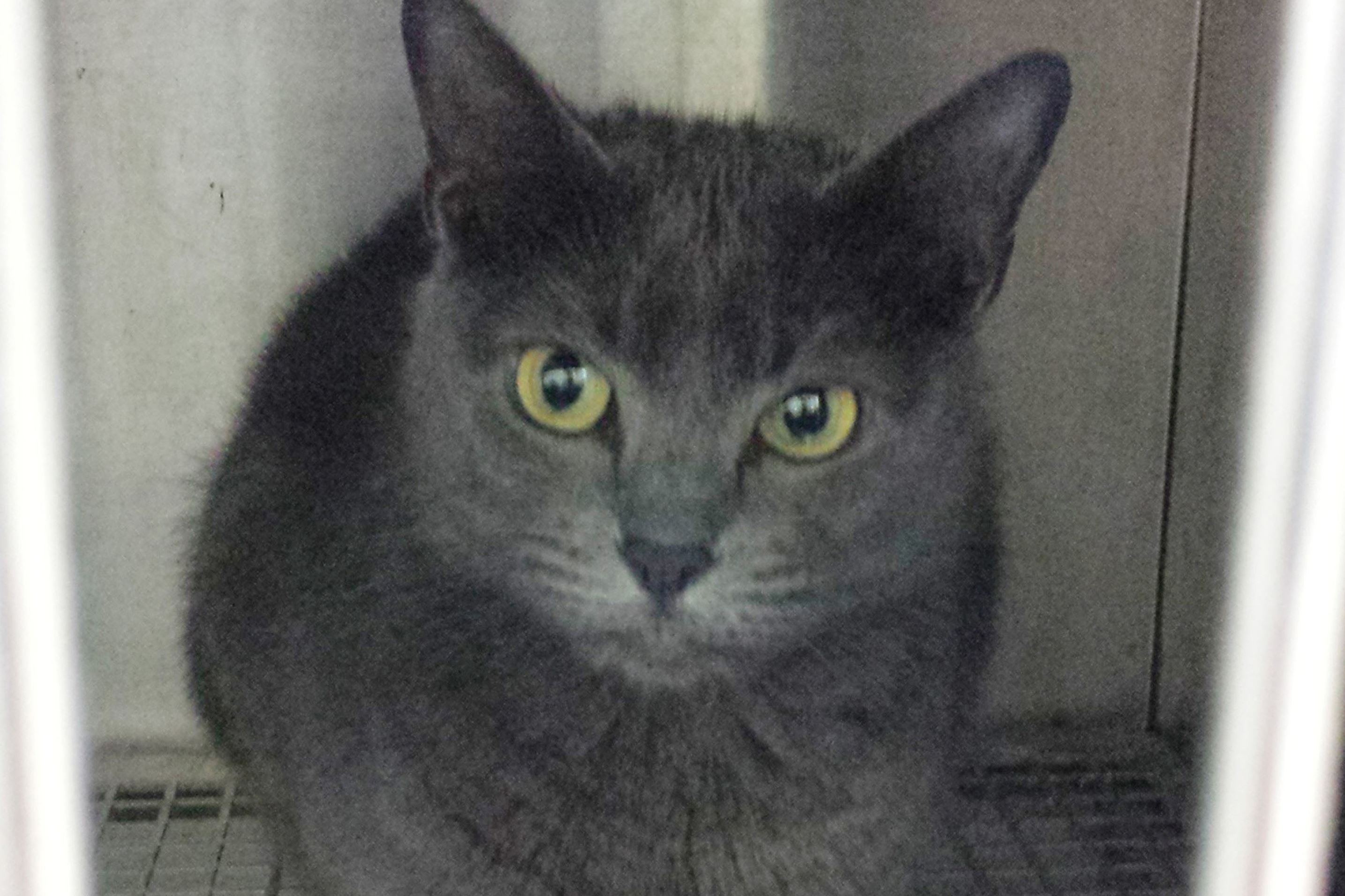 USA-FLORIDA-CAT Kush, a four-year-old Russian Blue, is seen in a cage at the local police station after her owner claimed the cat attacked her in her home, in DeLand, Florida.