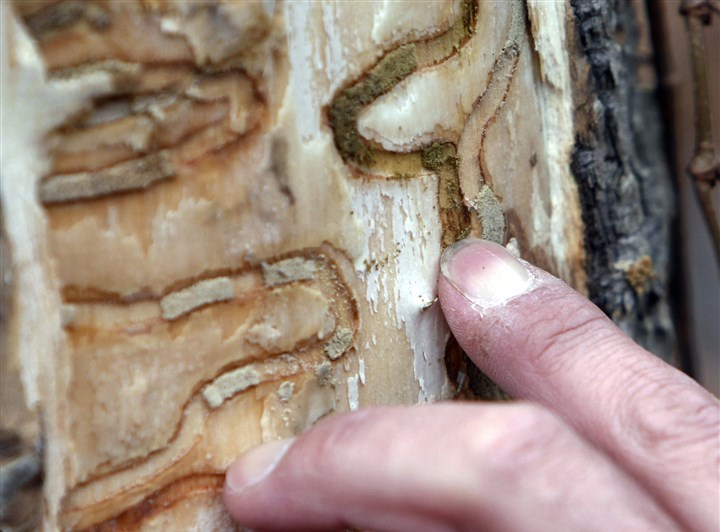 ashBorer3 In this Oct. 26, 2011, file photo, forester Jeff Wiegert, of the New York State Department of Environmental Conservation, points out the markings left from emerald ash borer larvae on an ash tree at Esopus Bend Nature Preserve in Saugerties, N.Y.