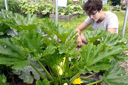 Millvale Gardens Holly Giovengo checks the size of the zucchinis at the Millvale Garden. Ms. Giovengo is part of the Browne Leadership Program at the University of Pittsburgh.