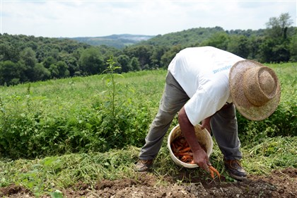 Erasmo Trejo at Kretschmann Family Organic Farm Erasmo Trejo harvests carrots at Kretschmann Family Organic Farm in Rochester, Beaver County.