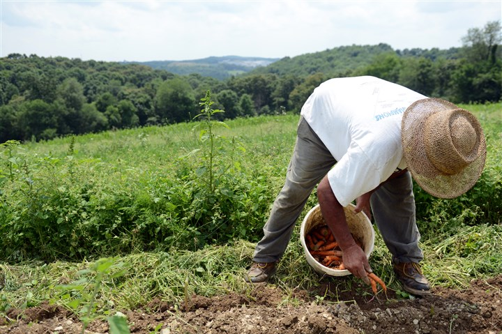 07212014jrOrganicLocal5-4 Erasmo Trejo harvests carrots at Kretschmann Family Organic Farm in Rochester, Beaver County.