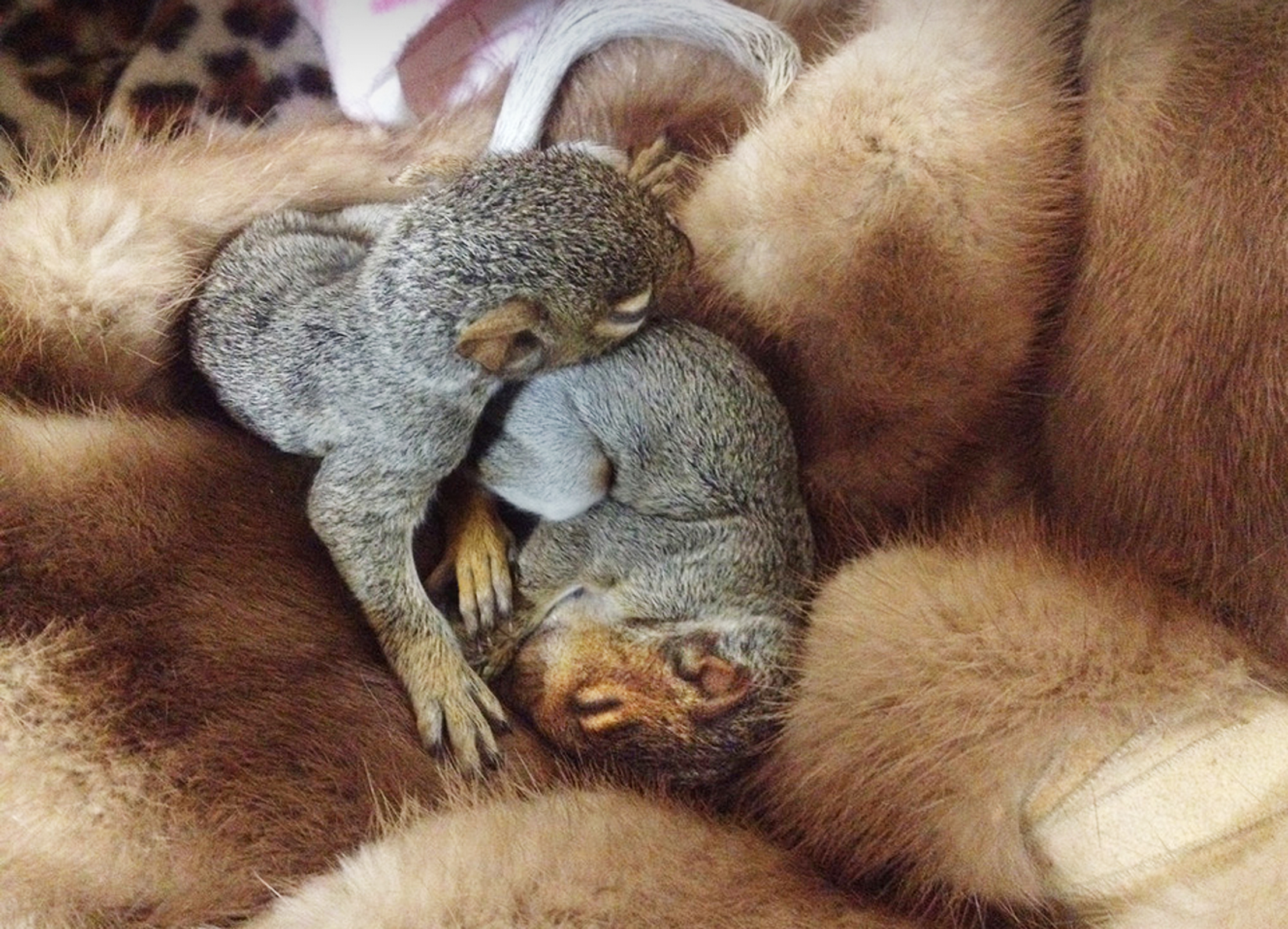 Squirrels from Animal Rescue League  Squirrels from Animal Rescue League asleep on fur.