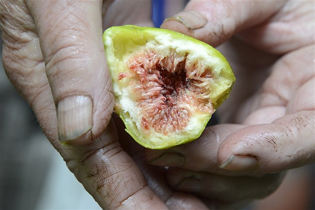 The fourth annual fig fest will be held Friday at Wigle Whiskey Barrelhouse and Whiskey Garden in Spring Garden.