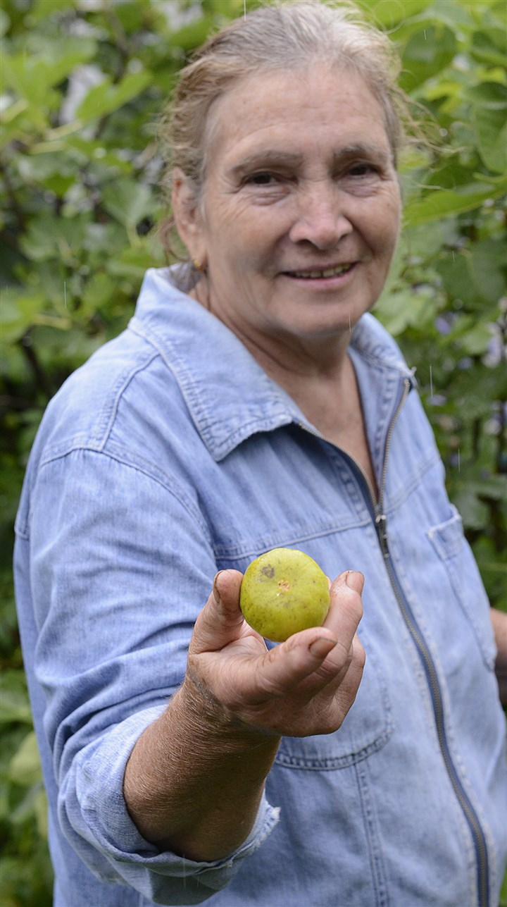 20140728radFloraFigsMag04-3 Tommasina Floro with one of the first ripe figs of the season in her Sewickley garden.