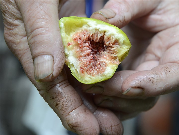 20140728radFloraFigsMag05-4 Tommasina Floro with a fig from one of her trees in Sewickley.