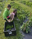 Lyndsay Luff, 6, of the North Side, tosses a green pepper into the crate as she and her brother, Brandon Luff, 12, volunteer to pick vegetables in the Common Ground garden.