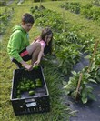 Lyndsay Luff, 6, of the North Side, tosses a green pepper into the crate as she and her brother Brandon Luff, 12, volunteer to pick vegetables in the Common Ground garden.