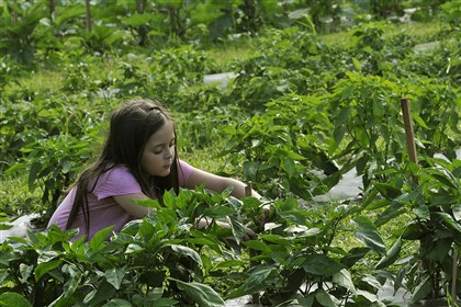 20140731lrfarmfood09-8 Lyndsay Luff, 6, of the North Side, picks a green pepper as she volunteers with her brother and father to pick vegetables at the Common Ground farm in the South Hills.