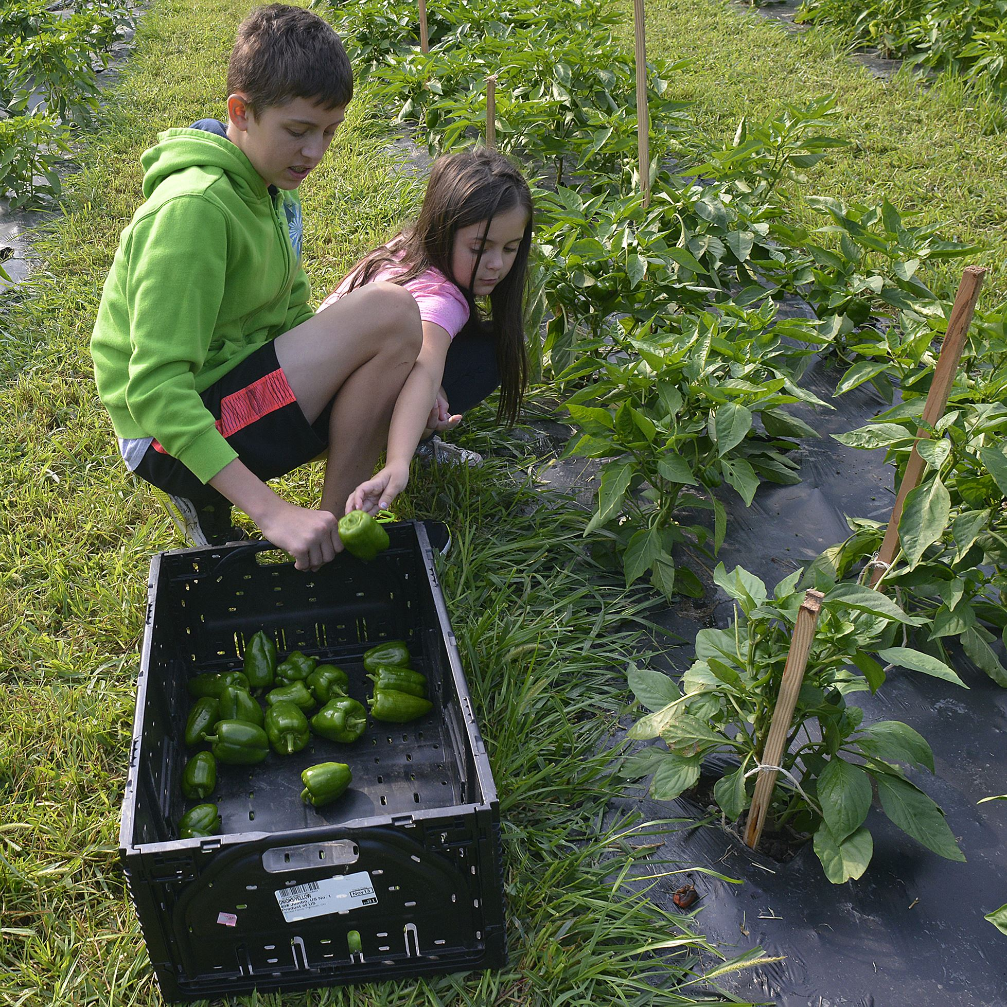 20140731lrfarmfood04-3 Lyndsay Luff, 6, of the North Side, tosses a green pepper into the crate as she and her brother, Brandon Luff, 12, volunteer to pick vegetables in the Common Ground garden.