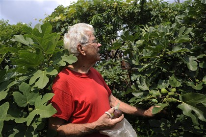 20140807rldFigs01 Saverio Strati of Hazelwood looks for figs at a community garden near his home.