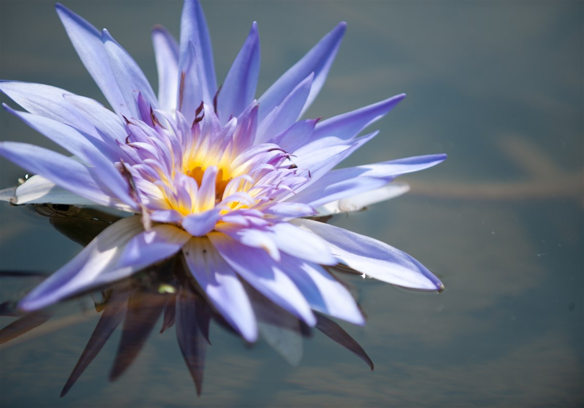 Gardener inspired by the loveliness of a lily pittsburgh post gazette a water lily in george griffiths pond in ligonier is named after elsie one of izmirmasajfo
