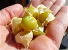 Ground cherries from the Trout Lake Farmers Market in Vancouver, Canada.