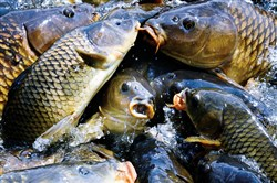 Carp lay on top of each other in  an effort to get the bread thrown their way at  the  spillway the reservoir at Pymatuning State Park in 2014. Officials are investigating the cause of a recent fish kill at the lake, which seems to be affecting carp.