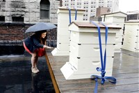 Christine Musial watches the bees enter and leave the roof apiary of the Duquesne Club.