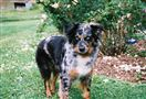 Boomer, 7, is an Australian shepherd