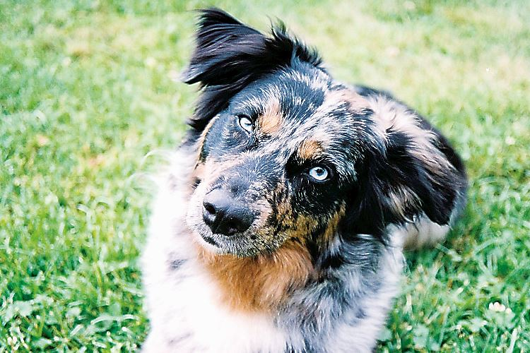 Boomer, Australian shepherd Boomer, 7, is an Australian shepherd who staved off a bold black bear that charged owner Connie Dilts during her routine morning walk in northern Indiana County.