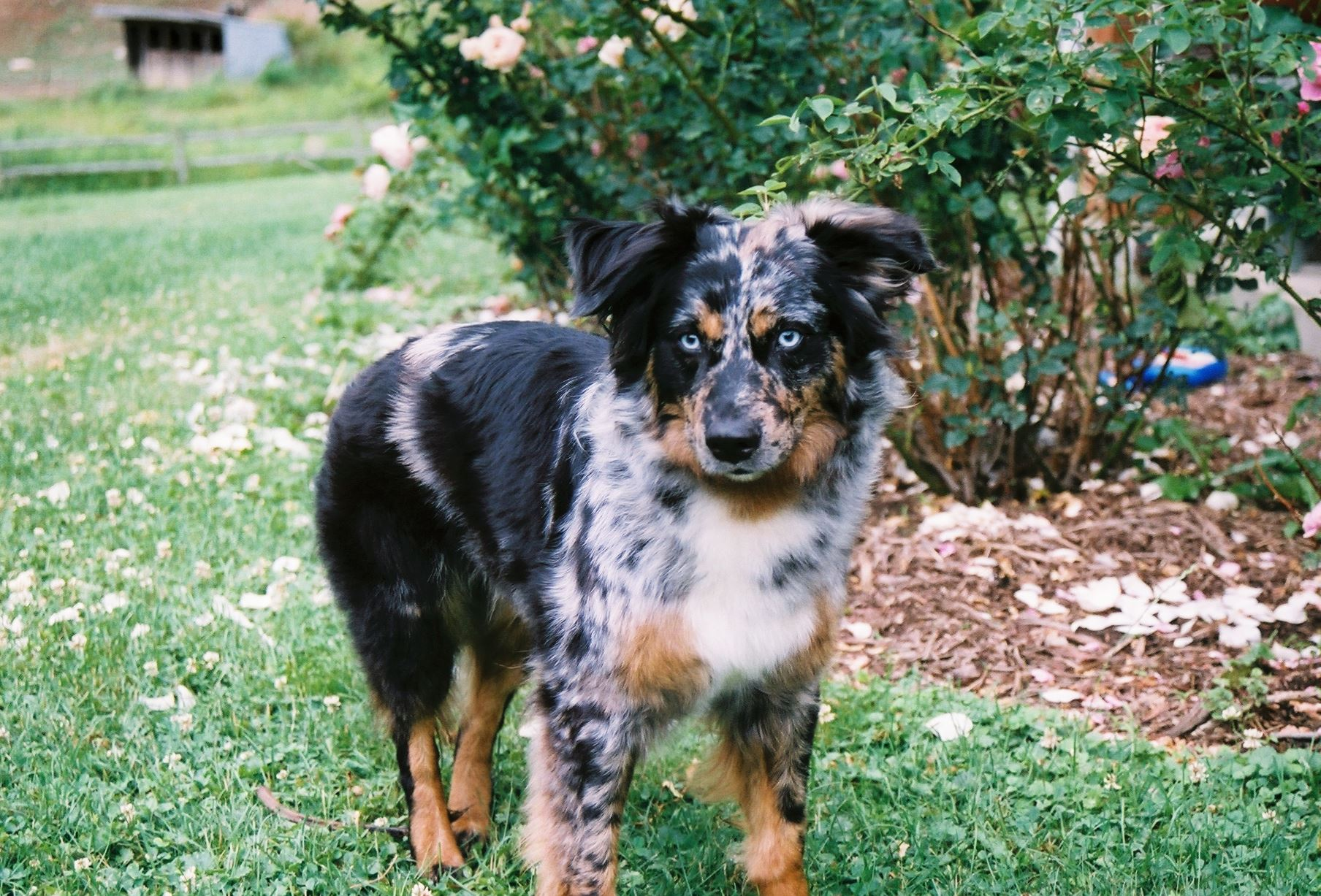Boomer, 7, is an Australian shepherd Boomer, 7, an Australian shepherd, is one of the five winners of the American Kennel Club's Humane Fund Awards for Canine Excellence for protecting his owner from attack by a black bear.