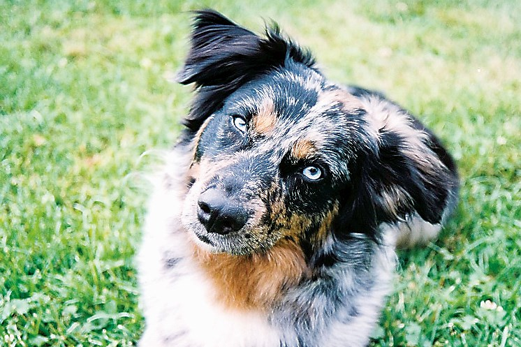 Boomer, 7, is an Australian shepherd who staved off a bold black bear that charged owner Connie Dilts during her routine morning walk in northern Indiana County.