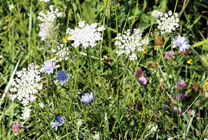 queenLace3-1 The blue-flowered chicory and white Queen Anne's Lace often grow side by side. Here, they line the edge of Kirby Road near state Game Lands 223 near Garards Fort in Whiteley, Greene County.