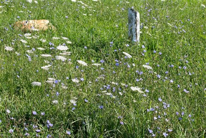 queenLace6-2 The blue-flowered chicory and white Queen Anne's Lace often grow side by side. Here, they line the edge of Kirby Road and a parking lot near state Game Lands 223 near Garards Fort in Whiteley, Greene County.