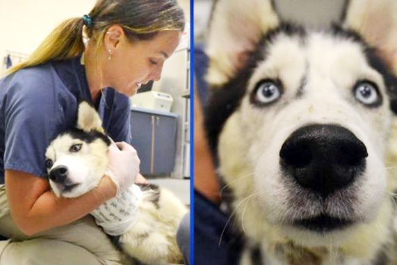 injureddog A 4-year-old Siberian husky named Barney was found on Race Street in Homewood with a deep gash across its neck.