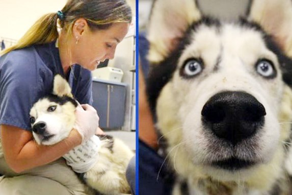 A 4-year-old Siberian husky named Barney was found on Race Street in Homewood with a deep gash across its neck.