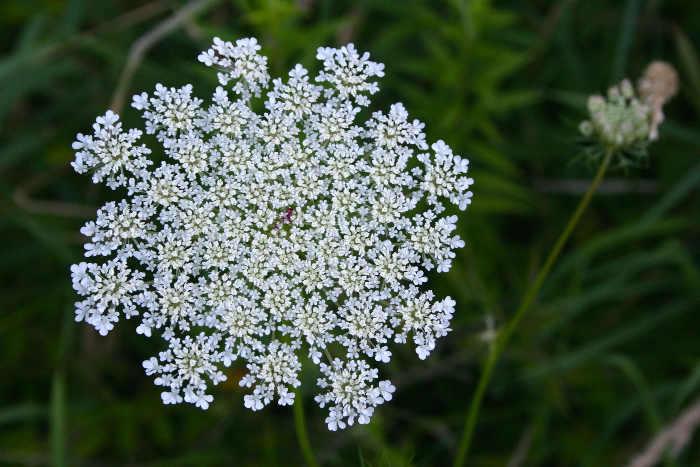 The good and bad of chicory and Queen Anne s Lace