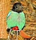 A hooded pitta at the National Aviary.