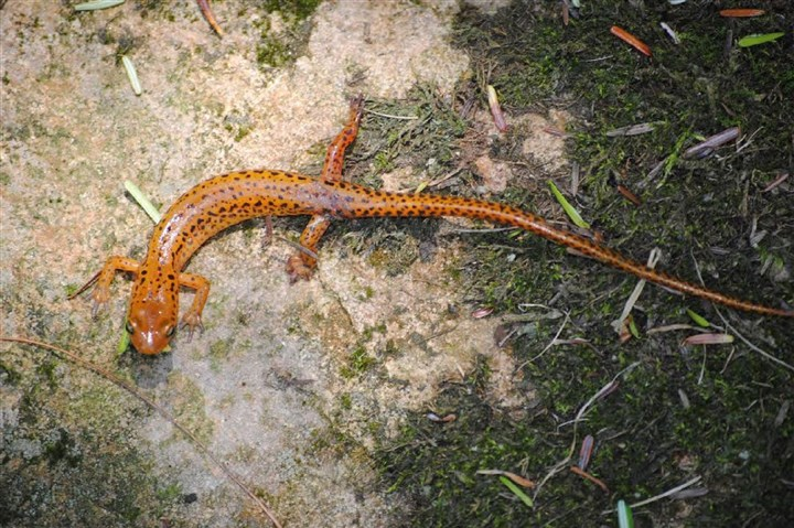The longtail salamander The longtail salamander is widely distributed, though secretive, across all of Pennsylvania. Its tail is a third longer than the body measured from snout to vent.