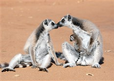 "Ring-tailed lemurs spend more time on the ground than any other lemur, as seen in ""Island of the Lemurs."""