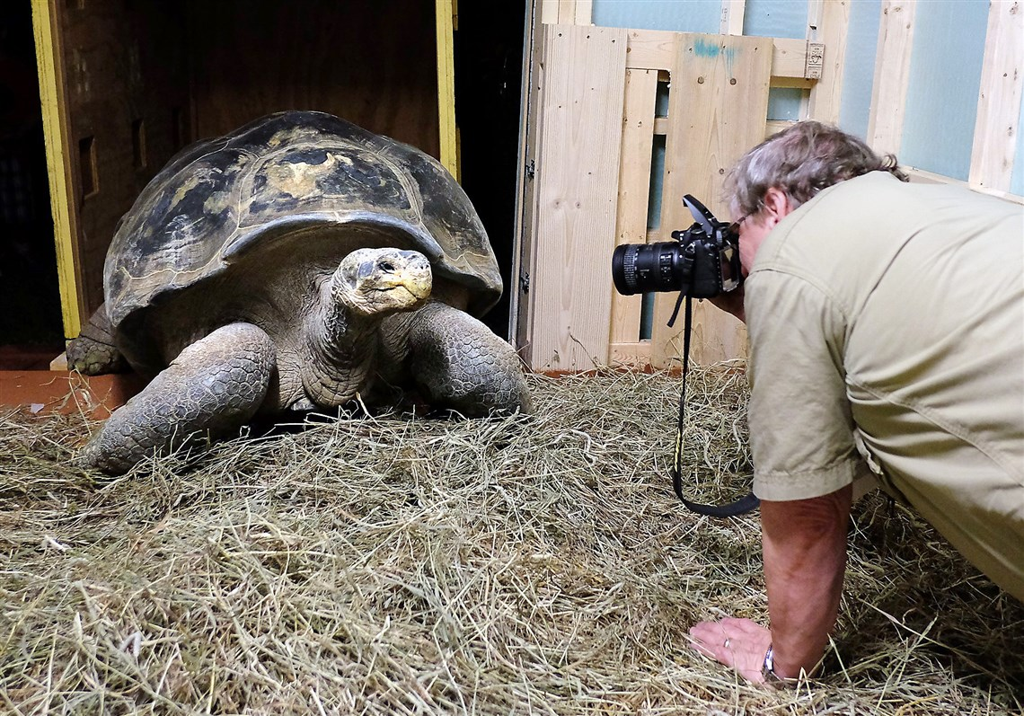 toledo zoo welcomes a galapagos tortoise pittsburgh post gazette andy odum toledo zoo assistant director of animal programs and curator of herpetology photographs