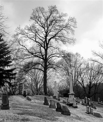 20140828hdOakMag A mature oak tree in Sewickley Cemetery illustrates the importance of a strong central leader and wide angles at which branches meet the main trunk. A narrow angle makes a branch more likely to break in a storm.