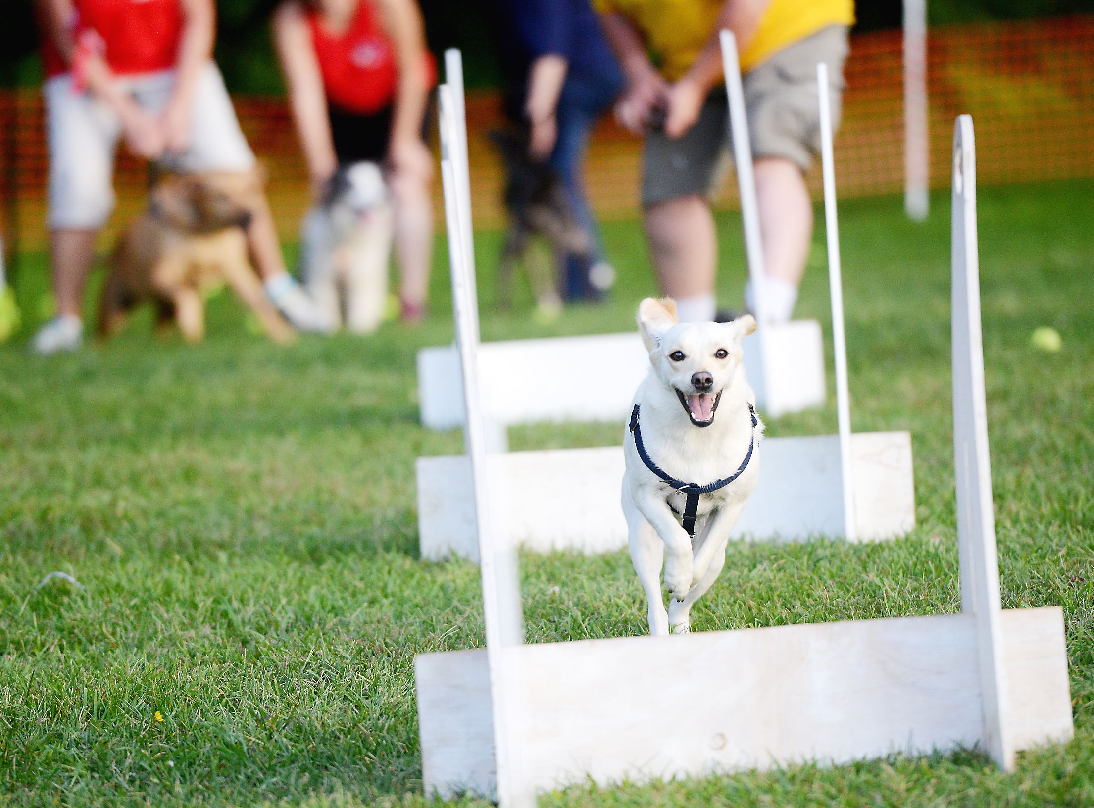 20140824ppPetTales1MAG Sandy, a 2-year-old Labrador-beagle mix, eyes the next hurdle during a practice Flyball match at the Splash 'n Dash K9 Sports demonstration during the Bark in the Dark Animal Friends fundraiser at Hartwood Acres. Flyball is played with two teams of four dogs with each dog taking turns running over hurdles grabbing a ball and returning to their starting point when the next dog takes his turn. The team that finishes the course fastest wins. Sandy lives with her human companion Chris Gill from Pleasant Hills.