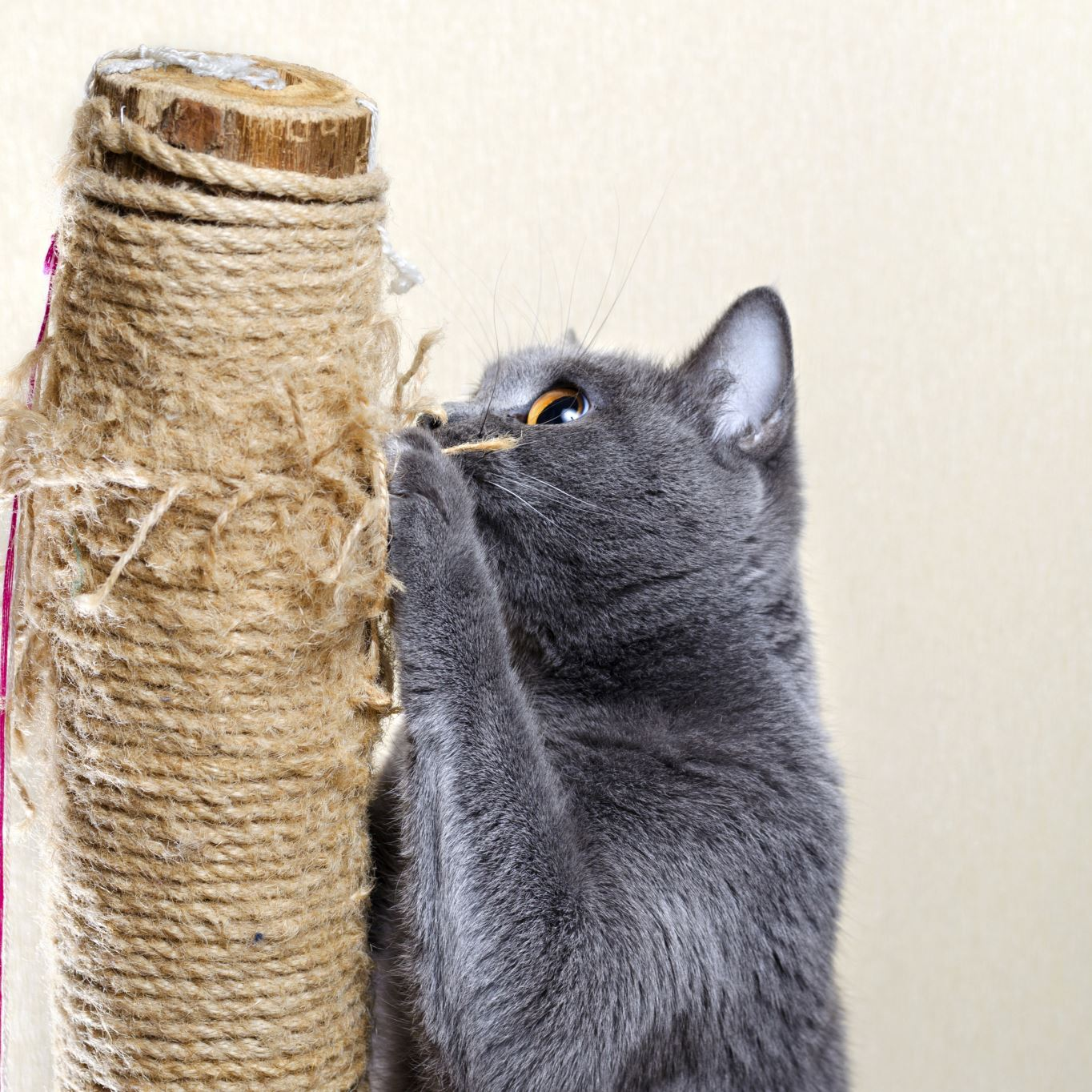 cat scratching post A cat is more likely to use a scratching post that allows it to stretch to its full height.