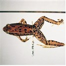 The Southern Leopard Frog.