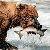 A coastal brown bear catches a sockeye salmon in shallow water next to Brooks Falls in the Katmai National Park and Preserve in Alaska in July.